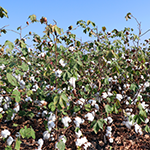 PORTUGAL Cotton Cultivation