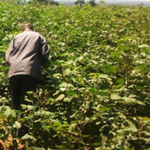 TANZANIA Cotton Cultivation